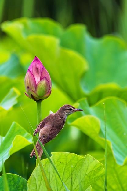 鳥撮り105 オオヨシキリ