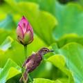 Photos: 鳥撮り105 オオヨシキリ