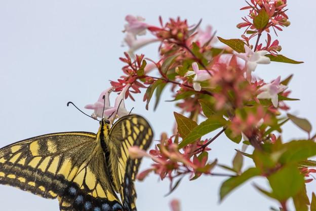 チョウ(鳥)撮れずチョウ(蝶)を撮る03