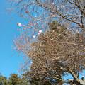 櫻木神社のさくら咲く
