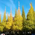 Photos: 明治神宮外苑いちょう並木の紅葉2018その2