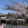 Photos: 桜越しの皇居平川門
