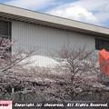 Photos: 窓の外は桜