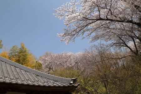 Sakura_1208
