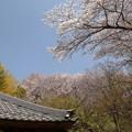 Photos: Sakura_1208