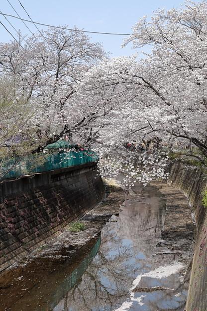 Photos: Sakura_1239