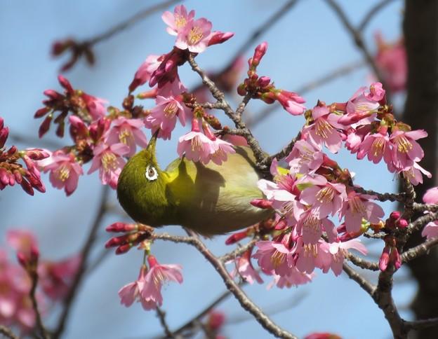 おかめ桜にメジロ
