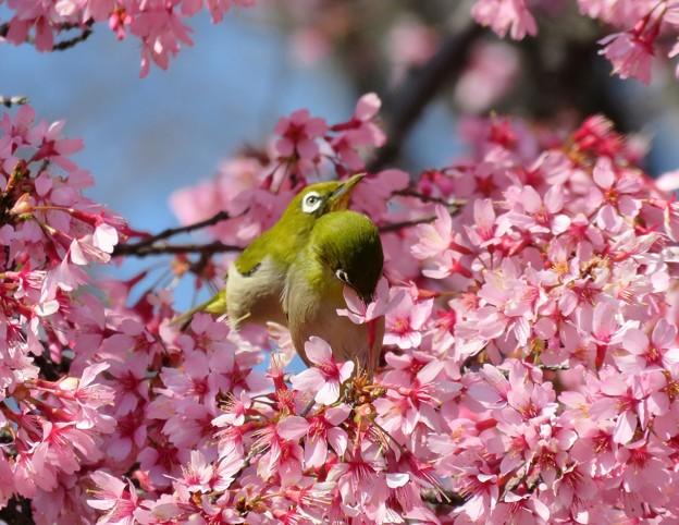 満開のおかめ桜に