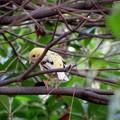 写真: 黄色の小鳥