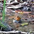 写真: コマドリの水浴び