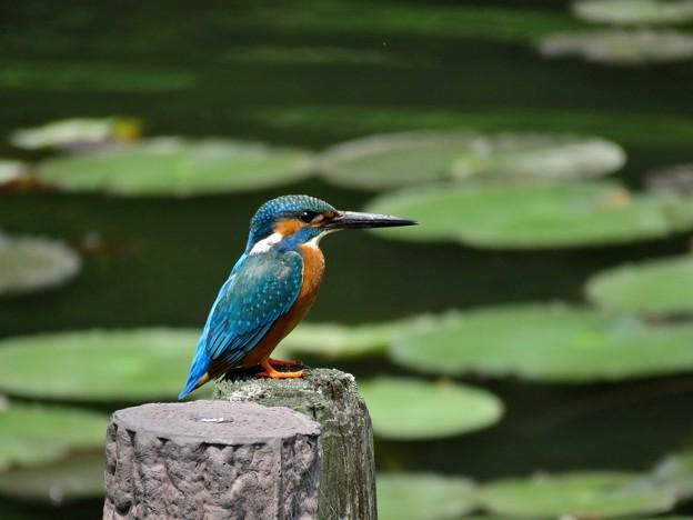写真: 睡蓮池のカワセミ