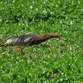 夏羽のアカガシラサギ