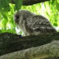 写真: 大けやきのフクロウ(2)