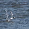 写真: コアジサシ飛び出し