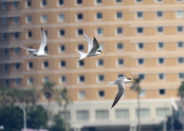 Photos: コアジサシ飛翔
