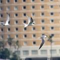 写真: コアジサシ飛翔