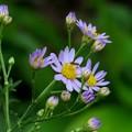 写真: 紫苑