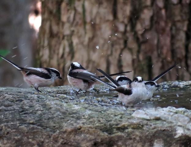 エナガの水浴び