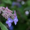 黒姫紫陽花
