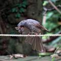 ヒヨドリの羽繕い