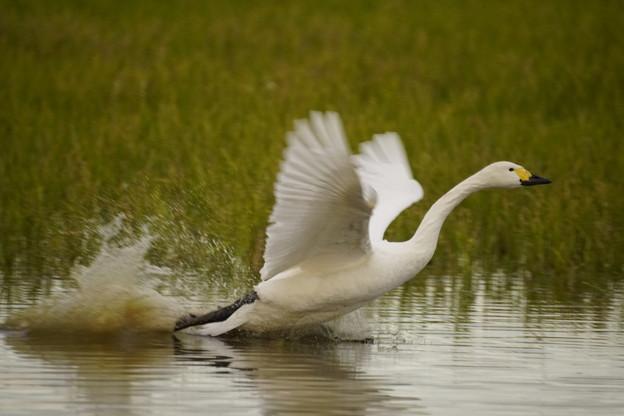 12月の白鳥
