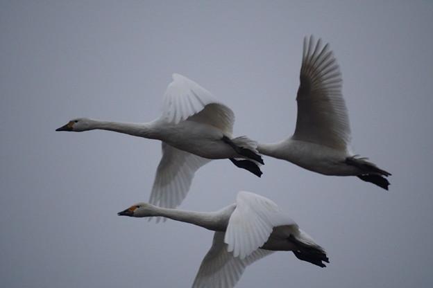 12月の白鳥3