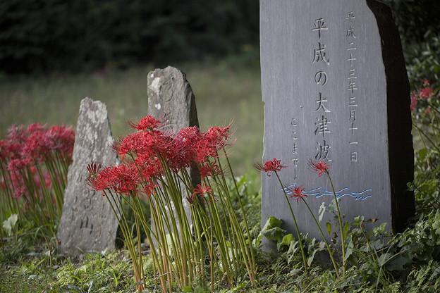 Photos: 奥松島・彼岸花 03