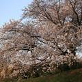 夕映え桜 04