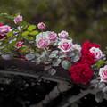 初夏の薔薇~ド 09