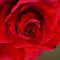 初夏の薔薇~ド 10