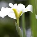 梅雨が菖蒲どき 07