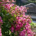 真夏の花(百日紅) 03