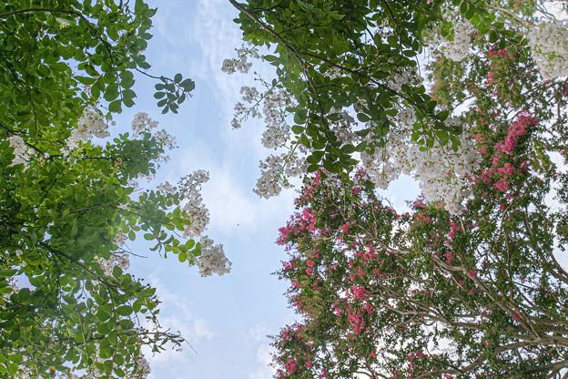 真夏の花(百日紅) 02