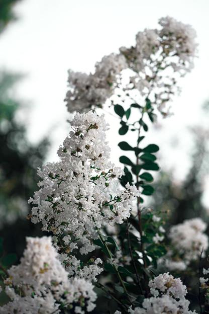 真夏の花(百日紅) 01