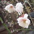 Photos: 梅2@湯島160206