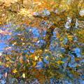 水面に黄葉