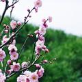 写真: 山の春