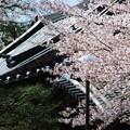 写真: 桜と松と瓦屋根