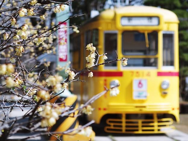 蝋梅のある景色