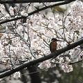 なんとか桜カワセミ