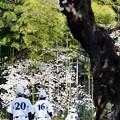 野球少年と桜