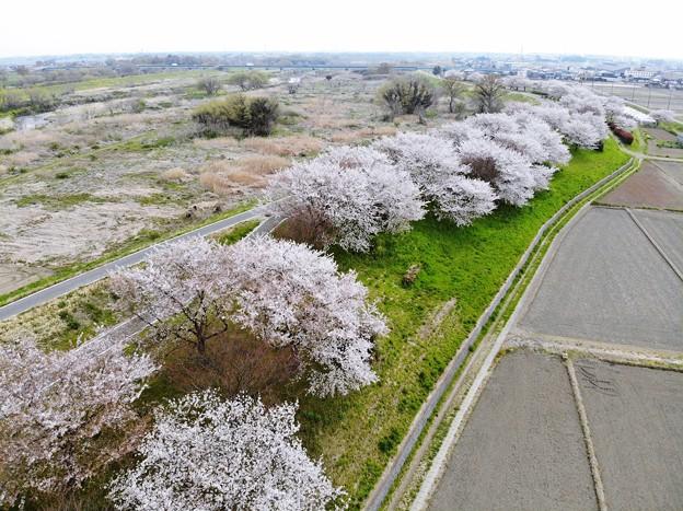桜、上空の旅
