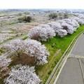 Photos: 桜、上空の旅