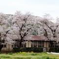 Photos: 桜と校舎