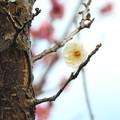 Photos: 白梅1