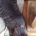 写真: 猫後ろアタマ
