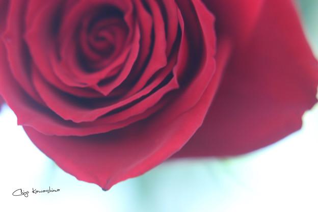 大輪のバラ