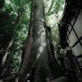 Photos: 御神木@川越氷川神社