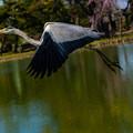 飛ぶ鳥1@行田・水城公園