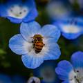 ネモフィラと蜜蜂@森林公園